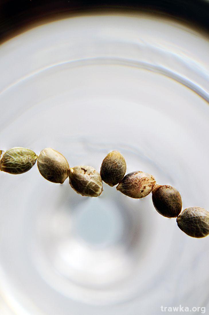 Grow Journal Zamnesia - Northern Lights - kiełkowanie 9 nasiona marihuany Kod dna