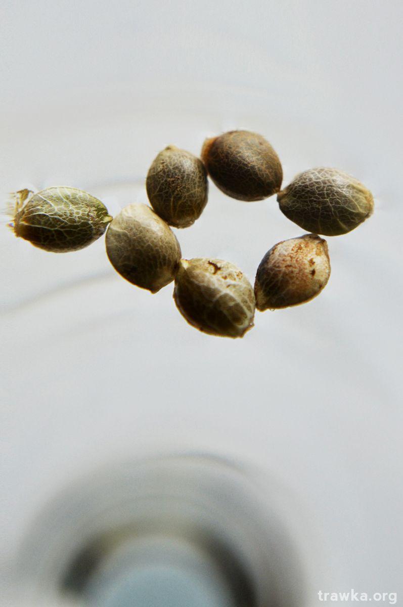 Grow Journal Zamnesia - Classic Skunk kiełkowanie 8 nasiona marihuany