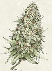 Кwiat