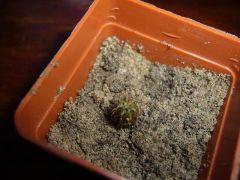 Trichocereus Pachanoi-San Pedro