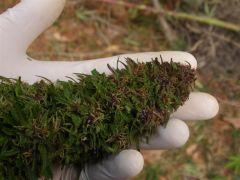 1 Październik Purple Maroc2 (7) (Medium)
