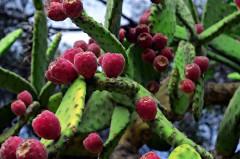 kaktusy-roślinność hiszpania