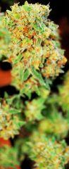 Harvest - Speed Queen - trimer Top