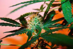Harvest - Hashberry - Speed Queen - grow&flo