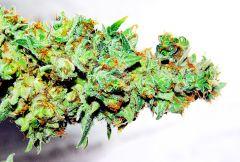 Harvest - Hashberry - trimer Top