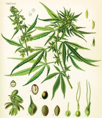 marijuana breeding