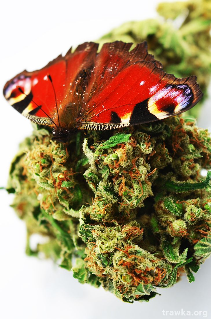 cannabis motyl Super Lemon Haze