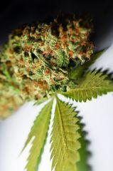 Super Lemon Haze topek 3 lisc marihuany