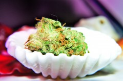 Cannabis shell - marihuana artystka