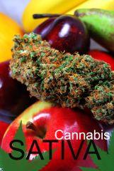 Cannabis Sativa Top Super Silver Haze