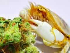 Marihuana Top Ganja morze śródziemne