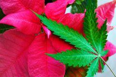 Liść Marihuany ususzony