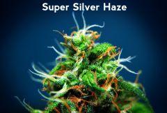 Baner Diety z Konopią - Top Super Silver Haze