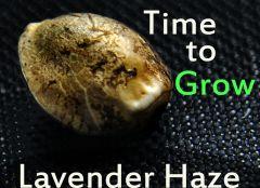 Lavender Haze Grow