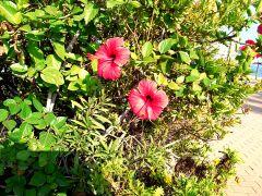 Alicante kwiaty