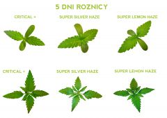 Super Silver Haze, Super Lemon Haze, Critical     grow 5 DNI KONOPIA WZROST