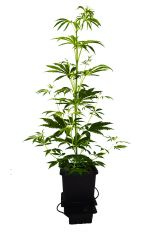 Super Silver Haze   cała roślina 36dzień