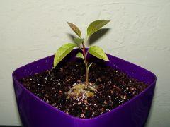 growing niekonopny