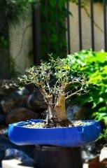 drzewko bonsai - hiszpania