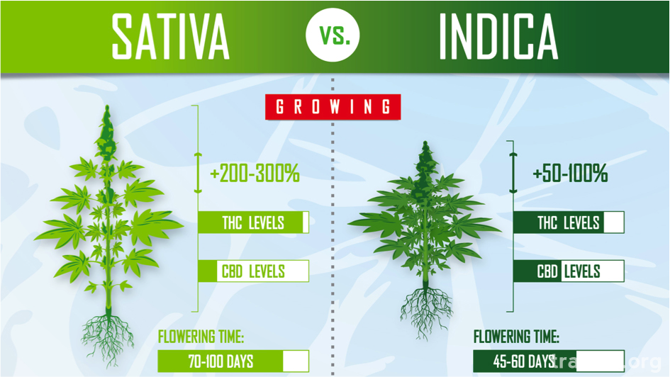 large.Sativa_Vs_Indica_Flowering_time.pn