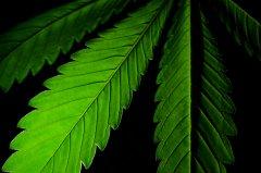 liść marihuany