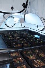 Kiełkowanie nasion i sadzonki konopi (14).jpg