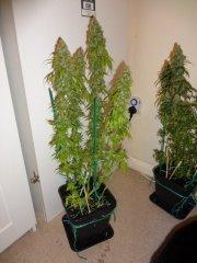 CALIF. HASH PLANT 52FLO_800x600.JPG