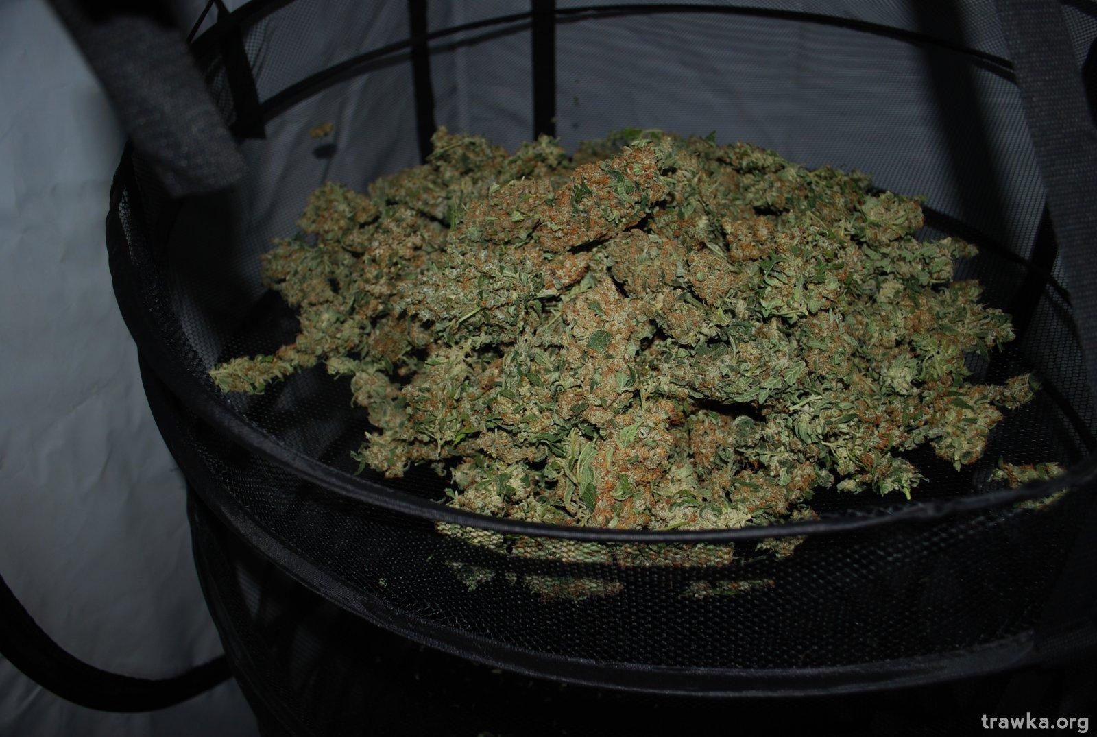susz marihuana.JPG