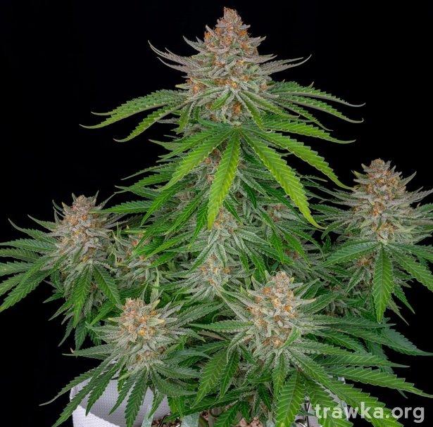 60-days-strawberry-nasiona-feminizowane-marihuany-sklep-z-nasionami-konopi-babciaganja.jpg